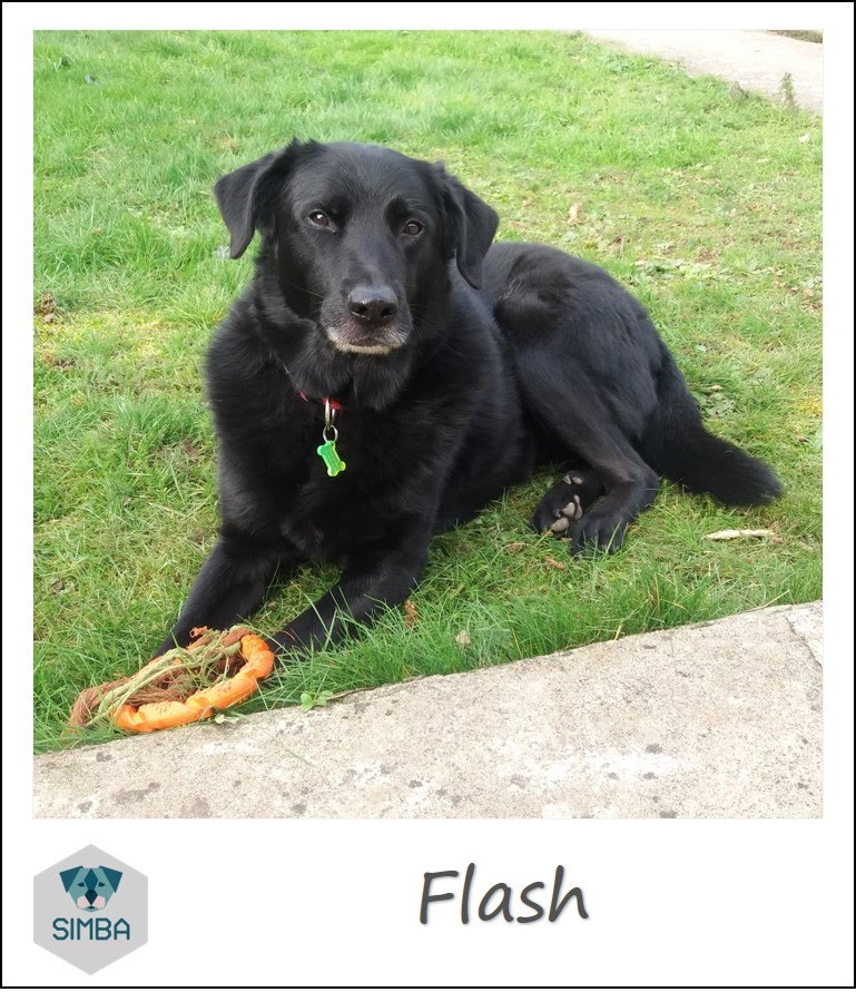 Flash labrador beauceron