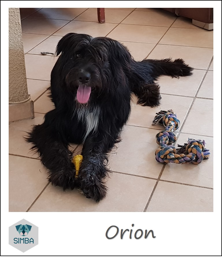 Orion border griffon